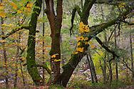 Forest detail near North San Juan, Nevada County, California