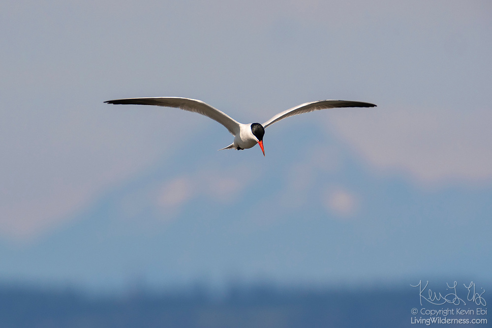 A Caspian tern (Hydroprogne caspia) hunts over Puget Sound in Washington state with The Brothers, a pair of prominent peaks in the Olympic Mountain Range, providing a backdrop.
