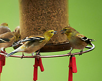 American Goldfinch. Image taken with a Nikon D850 camera and 600 mm f/4 VR lens.