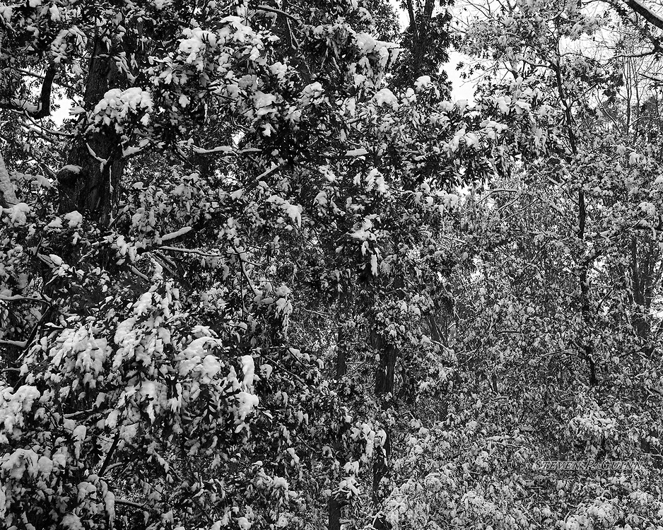 """I captured this nature portrait, along with """"A Snowy Sketch"""", Snow-Capped"""", and """"Snowy Autumn Foliage"""", in my backyard on November 11th, 2019. I captured this image earlier in the evening. I was experimenting with different shooting techniques and chose black and white for this scene because I like how the """"black"""" of the trees and leaves contrast very distinctly with the white of the snow throughout the entire image. I also wanted to capture the varying level of details in the near and far foliage to add depth to the image as well.<br /> <br /> Printed on Hahnemühle German Etching paper. Limited to 200 productions per size.<br /> <br /> Framed prints are available in 20"""" x 16"""", 30"""" x 24"""", and 40"""" x 30"""" sizes."""