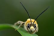 Male scarce long-horned bee (Eucera nigrescens) Amöneburg Hessen, Germany | Frühe Langhornbiene (Eucera nigrescens) Männchen; Amöneburg, Hessen, Deutschland