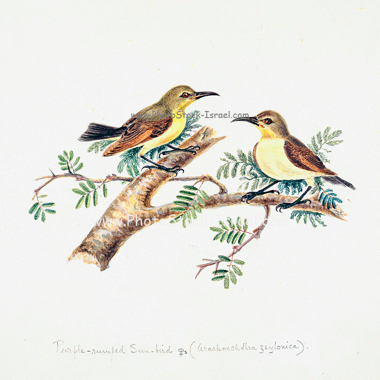 Sunbirds (Nectarinia) [Here as Purple Rumped sunbird (Leptocoma zeylonica)] 18th century watercolor painting by Elizabeth Gwillim. Lady Elizabeth Symonds Gwillim (21 April 1763 – 21 December 1807) was an artist married to Sir Henry Gwillim, Puisne Judge at the Madras high court until 1808. Lady Gwillim painted a series of about 200 watercolours of Indian birds. Produced about 20 years before John James Audubon, her work has been acclaimed for its accuracy and natural postures as they were drawn from observations of the birds in life. She also painted fishes and flowers. McGill University Library and Archives