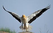 Egyptian vulture, Faia Brava reserve, Côa valley,.Portugal