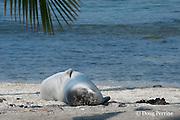Hawaiian monk seal, Monachus schauinslandi( Critically Endangered ), 2.5 year old male snoozes on the beach under a palm tree, Pu'uhonua o Honaunau ( City of Refuge ) National Historical Park, Kona, Hawaii ( the Big Island )