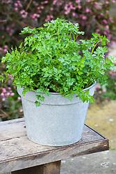 Flat leaved parsley in galvanised bucket