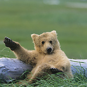 Alaskain Brown Bear (Ursus middendoffi) cub resting on driftwood during late spring. Katmai National Park, Alaska