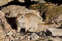 Belding's Ground Squirrel, Mt. Dana, High Sierra California