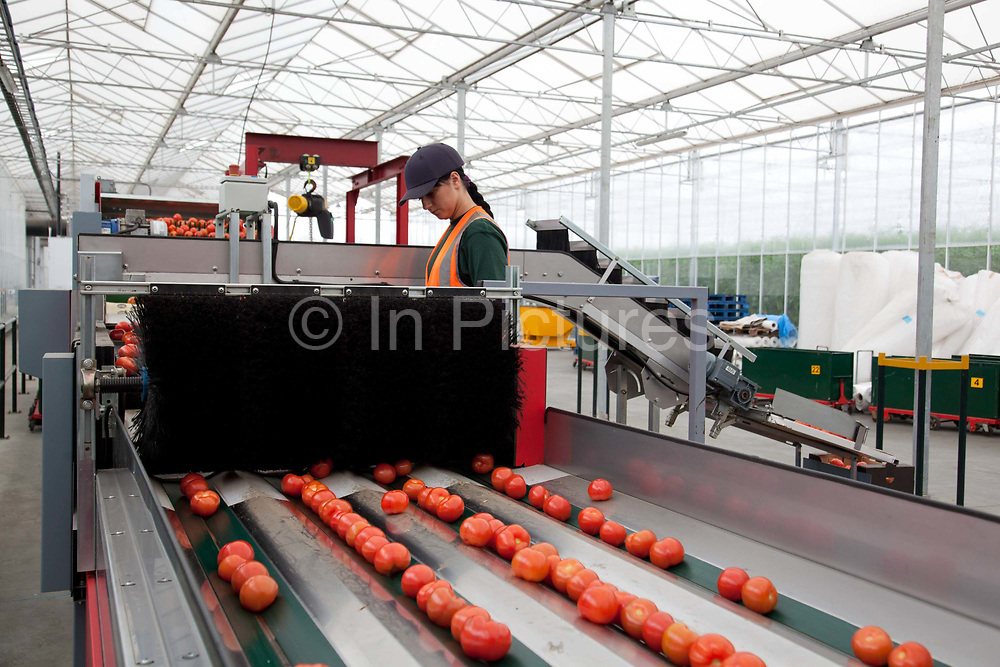 Tomato processing and selecting machines, these grade the size and shape of the tomatoes and put them in the relevant boxes. The Cornerways tomato nursery is the largest greenhouse in the UK. It is attached to the British Sugar factory in Wissington, Norfolk. The project is a revolutionary CHP combined heat and power system that uses the heat produced by refining sugar beet into sugar, to heat the tomato plants that are grown hydroponically.