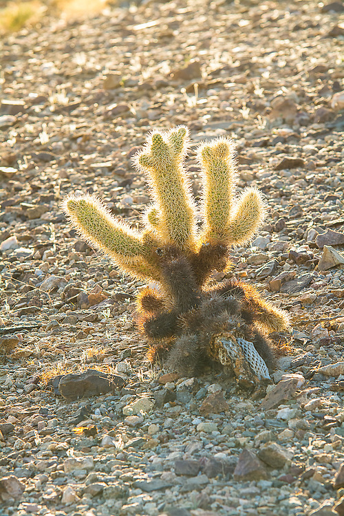 "From personal experience, the teddybear cholla (named for the thick, bristling spines that almost look like soft fur) are a real eye-opener when one first makes physical contact with this native of the American Southwest. Casual passing contact will not only cause immense sharp pain, but the piece of the cactus touched will detach from the main part of the plant and tag along for the ride. This evolutionary and reproductive tactic is why this cholla is often called the ""jumping cholla"" - it will hop a ride with anything that touches it, eventually fall to the ground and once it roots, grow a whole new cactus. This one was found growing (without touching) along the side of a dried-out arroyo in a nameless canyon in Southern California's Anza-Borrego Desert in San Diego County."