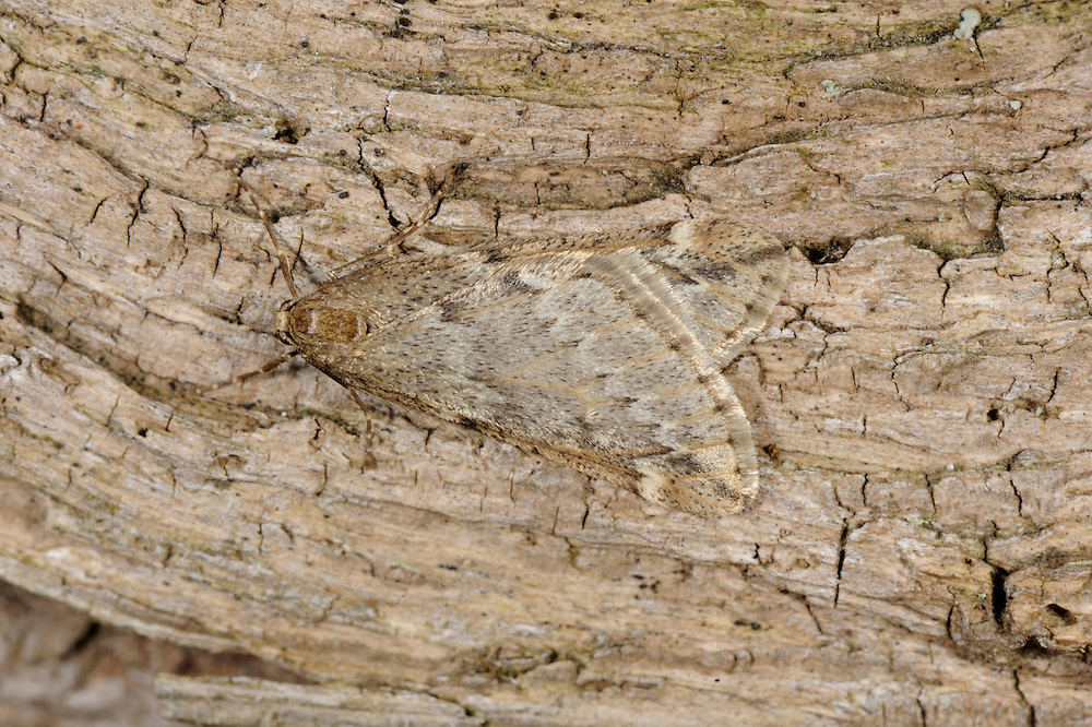 March Moth  Alsophila aescularia Length 19mm. A distinctive, narrow-winged moth. Wings overlap one another at rest. Adult male has buffish-grey and brown wings; female is wingless and found crawling on tree trunks after dark. Flies March-April. Larva feeds on deciduous trees, notably oaks and Hawthorn. Widespread but commonest in central and southern Britain.