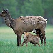Elk, (Cervus elaphus) cow with spring calf nursing in meadow. Summer rainfall.