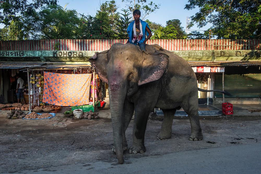 Asian elephant (Elephas maximus) domestic & Mahout<br /> Kaziranga National Park<br /> Assam<br /> North East India<br /> UNESCO World Heritage Site<br /> ENDANGERED