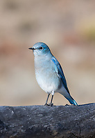 Mountain Bluebird, female (Sialia currucoides).   The female has a pale grayish-brown body;  the wings and tail are sky blue with black tips on the wings.  The head has a white eye-ring.  True colors are best seen when the bird is flying.