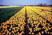 Narcissen bloemenveld in de Bollenstreek, Noordwijkerhout