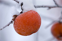 Unpicked apples frozen on trees in the Upper Methow valley Washington USA