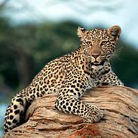 Africa, Botswana, Savute. Leopard of Chobe National Park.