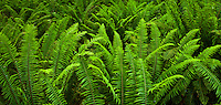 Western Sword Fern panorama, Kitsap Peninsula, Puget Sound, Washington state, USA