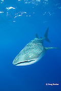 whale shark, Rhincodon typus, Kona Coast, Hawaii Island<br /> ( the Big Island ), Hawaiian Islands, USA ( Central Pacific Ocean )