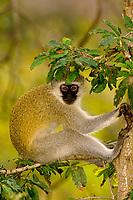 Vervet monkeys, Kruger National Park, South Africa