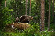 Hembra y cachorros de Oso Pardo, Finlandia