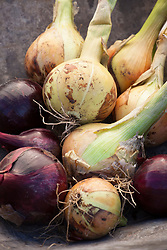 Mixed harvested onions