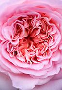 Rose Graphics