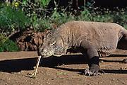 Komodo dragon, 9 foot long  carnivorous lizard, endangered species, Komodo National Park, Indonesia.