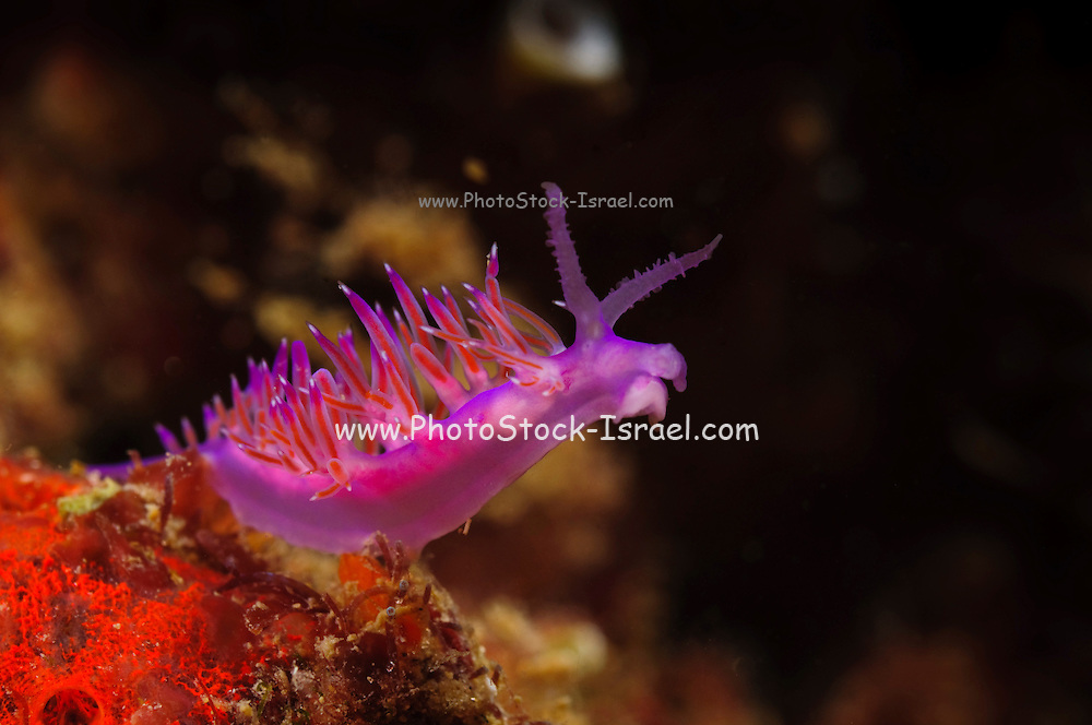 Israel, Mediterranean sea, - Underwater photograph of a Purple Sea Slug (Flabellina affinis) at 9 meters
