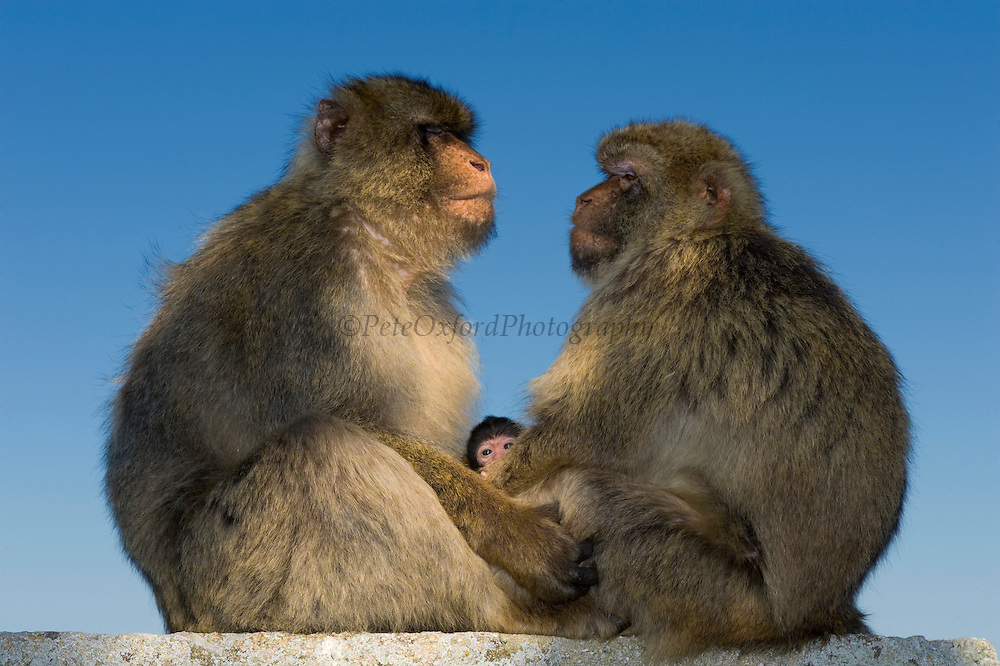Barbary Macaques or Barbary Apes (Macaca sylvanus) & baby<br /> GIBRALTAR, UNITED KINGDOM<br /> Only monkey in Europe. True monkeys not apes and the only monkey without a tail. They are arboreal and terrestrial.<br /> IUCN: ENDANGERED SPECIES
