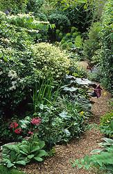 Gravel area in small town garden -Choisya ternata, Primula 'Miller's Crimson', Caltha palustris (King cups), Ligularia 'Desdemona' and Pittosporum 'Irene Paterson.