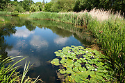 Large pond, Barnes Wetland Trust, London UK, WWT,