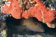 coney grouper, <br /> Cephalopholis fulva, <br /> Islamorada, Florida Keys ( Western Atlantic Ocean )<br /> Florida Keys National Marine Sanctuary