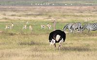 Male Common Ostrich, Struthio camelus, with Thomson's Gazelles, Eudorcas thomsonii, and Grant's Zebras, Equus quagga boehmi. Ngorongoro Crater, Ngorongoro Conservation Area, Tanzania