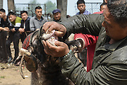 ANYANG, CHINA - APRIL 25: (CHINA OUT) <br /> <br /> A villager checks a sheep at the sheep-fighting match during the temple fair in Hua County on April 25, 2016 in Anyang, Henan Province of China. About 150 sheep most of which were small-tail han sheep joined the goat-fighting match during the traditional temple fair in Hua County. <br /> ©Exclusivepix Media