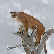 Mountain lion in a tree, Bridger Mountains, Montana. Captive Animal