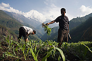 Nepali men pull weeds and till the soil for better aeration in a corn field in the traditional Gurung village of Landruk along the Annapurna Sanctuary Trek, Himalaya Mountains, Nepal. The Annapurna massif rises in the distance.