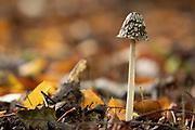 Magpie inkcap (Coprinopsis picacea) in beech woodland. Surrey, UK.