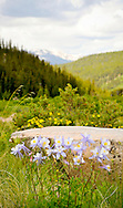 Group of Columbine Flowers in full bloom in Rocky Mountains Colorado