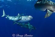 tiger sharks ( Galeocerdo cuvier ), North Shore, Oahu, Hawaii, USA ( Central Pacific Ocean ); shark at center has parasitic leech on side of face