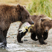 Alaskan Brown Bear (Ursus middendorffi) mother catches a salmon to feed her and her cubs. Katmai National Park, Alaska