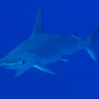 Scalloped Hammerhead Shark, Sphyrna lewini, (Griffith & Smith, 1834), Molokai, Hawaii, Moku Ho'oniki Rock