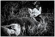 06-11-2017 Foto's genomen tijdens een persreis naar Buffalo City, een gemeente binnen de Zuid-Afrikaanse provincie Oost-Kaap. Inkwenkwezie Private Game Reserve - Leeuwin en welp eten rund