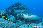 male Hawaiian monk seal, Monachus schauinslandi ( critically endangered endemic species ), with endemic milletseed butterflyfish, Chaetodon miliaris, and pyramid butterflyfish, Hemitaurichthys polylepis, Lehua Rock, near Niihau, off Kauai, Hawaii ( Pacific Ocean )