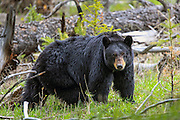 Adult Black Bear (Ursus americanus) in habitat