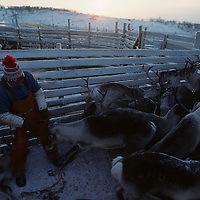 Europe, Norway, Sami herders slaughter reindeer during early winter harvest near arctic town of Kirkennes