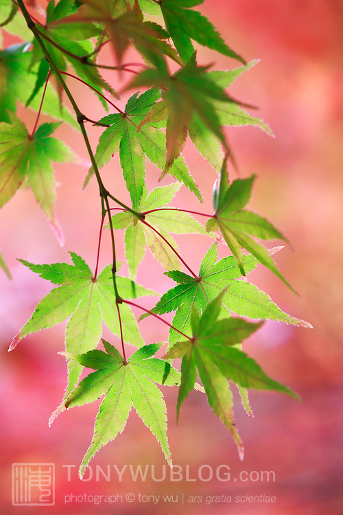 Still-green momiji Japanese maple leaves in front of a momiji tree with leaves that have already turned colors. The afternoon sun imparted a pinkish cast to the leaves in the background, unusual coloration for autumn. Photographed at Nison-in in Kyoto.