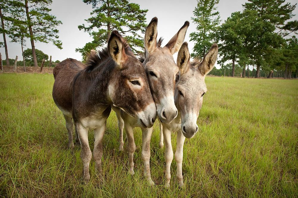 Mule Team, Prairies & Lakes, Texas