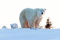 Polar Bear Mom and Cubs