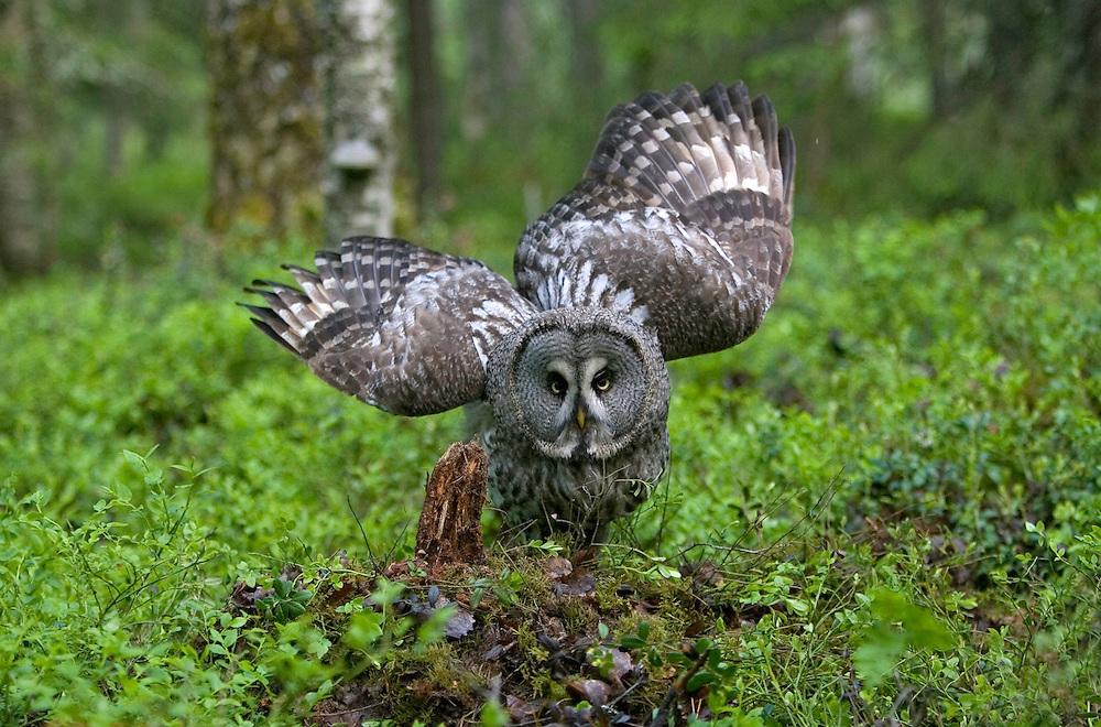 Great Grey owl (Strix nebulosa), Oulu, Finland.
