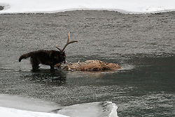 Black wolf dining on bull elk in Soda Butte Creek of the Lamar Valley in Yellowstone National Park (10 megabite file, don't print over 8X12 )